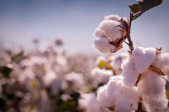 Cotton bud crop Stock Photography