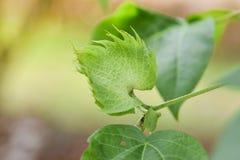 Cotton Plant - Cotton tree flower. Cotton bud detail Cotton Plant - Cotton tree flower Royalty Free Stock Images