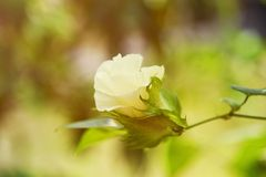 Cotton Plant - Cotton tree flower. Cotton bud detail Cotton Plant - Cotton tree flower Stock Photo