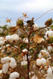 Cotton bud field Stock Images