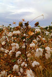 Cotton bud field Royalty Free Stock Photo