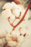 Cotton buds detail Royalty Free Stock Photos