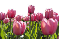 Cotton Candy Pink Tulip Field. Mass planting of pink Tulips in full spring bloom Royalty Free Stock Images
