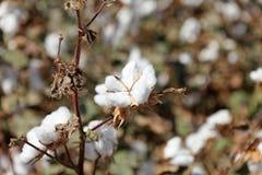 Cotton closeup Stock Image