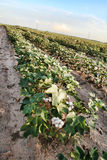 Cotton Crop. Rows of newly popped cotton pods in a Texas field Stock Images