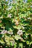 Cotton Crop. A field of cotton ripening on the plant Stock Photos