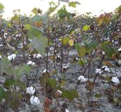 Cotton crop Royalty Free Stock Images