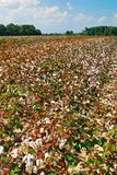 Cotton grows in a field royalty free stock image