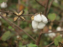 Cotton crop close up focus Stock Images