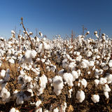 Cotton Crop Harvest Royalty Free Stock Photography