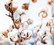 Cotton crop landscape with copy space area Stock Image