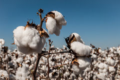 Cotton crop. Overview of a Cotton crop. Agriculture in Brazil Stock Images