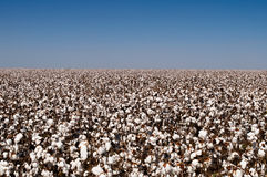 Cotton crop Stock Photography