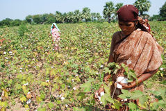 Cotton crop Stock Image