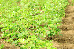 Cotton crops Royalty Free Stock Photography