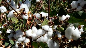 Cotton crops ready for pickup stock video footage