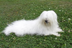 Cotton de Tulear Photo stock