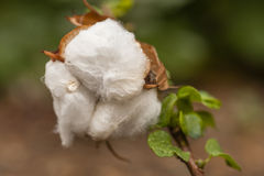 Cotton exposed in the flower bud of the plant royalty free stock images