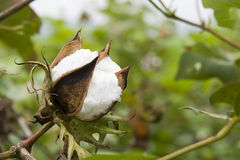 Cotton in farm Royalty Free Stock Images