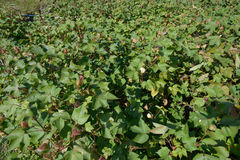 Cotton farm field Royalty Free Stock Photo