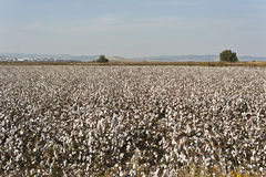 Cotton farm Stock Photo