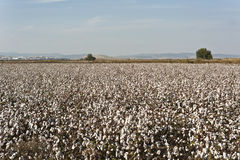 Cotton farm Royalty Free Stock Photo