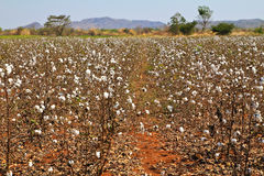 Cotton farms Stock Photos