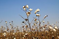 Cotton farms Royalty Free Stock Photos