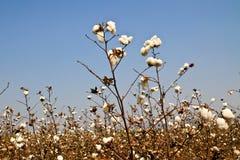 Cotton farms Royalty Free Stock Photos