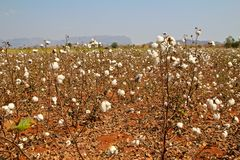 Cotton farms Stock Image