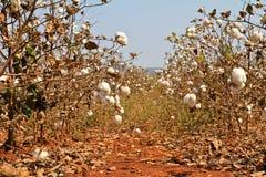 Cotton farms Stock Photo