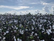 Cotton feild in Mississippi royalty free stock photography