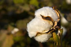 Cotton fiber. Cotton crop open capsule stock image