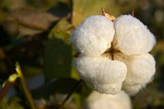 Cotton fiber Stock Image