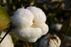 Cotton fiber. Cotton crop open capsule stock photo