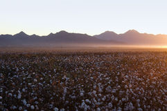 Cotton field. Rows of white ripe cotton in field ready for harvest Royalty Free Stock Photos