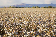 Cotton field. Beautiful cotton field on farm in Arizona with mountains in background Royalty Free Stock Photos