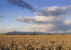 Cotton field. Beautiful cotton field on farm in Arizona with mountains in background Stock Photo