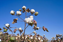 Cotton field. Under blue sky Stock Image