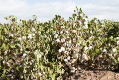 Cotton Field. A mature cotton field before defoliation and harvest Stock Images