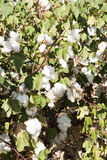 Cotton Field. A mature cotton field before defoliation and harvest Stock Photos
