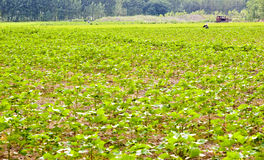 Cotton field. Farm in China in early summer Stock Photos