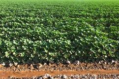 Cotton field. Stock Photos