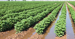 Cotton field. Water on irrigated cotton field Royalty Free Stock Photography