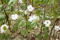 A cotton field Stock Images