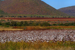Cotton field. In South Africa Royalty Free Stock Photography