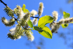 Cotton field. On blue sky Royalty Free Stock Image