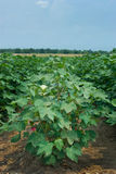Cotton Field. Upland cotton plants (Gossypium hirsutum) growing in a field with the Mississippi River levee in the background Stock Photos