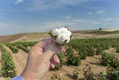 Cotton field. A photo with cotton field Stock Photos