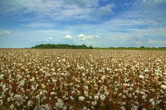Cotton Field. Ready for harvest Stock Image